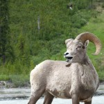 Bighorn sheep at Icefields Parkway Canada