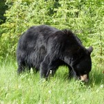 Black bear around Jasper Canada