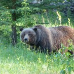 Grizzly bear around Lake Louise Canada